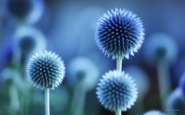 Globe thistle (click to view)