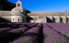 Lavender field (click to view)