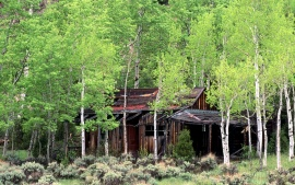 Old Cabin in a Stand of Aspen Trees, Gould, Colorado
