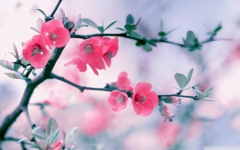 Pink blossoms (click to view)