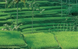 Rice Plantations, Bali, Indonesia