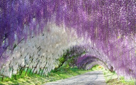 Wisteria Flowers Tunnel