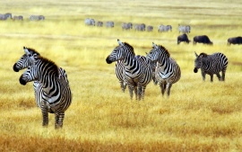 Zebras in African Savanna Forest