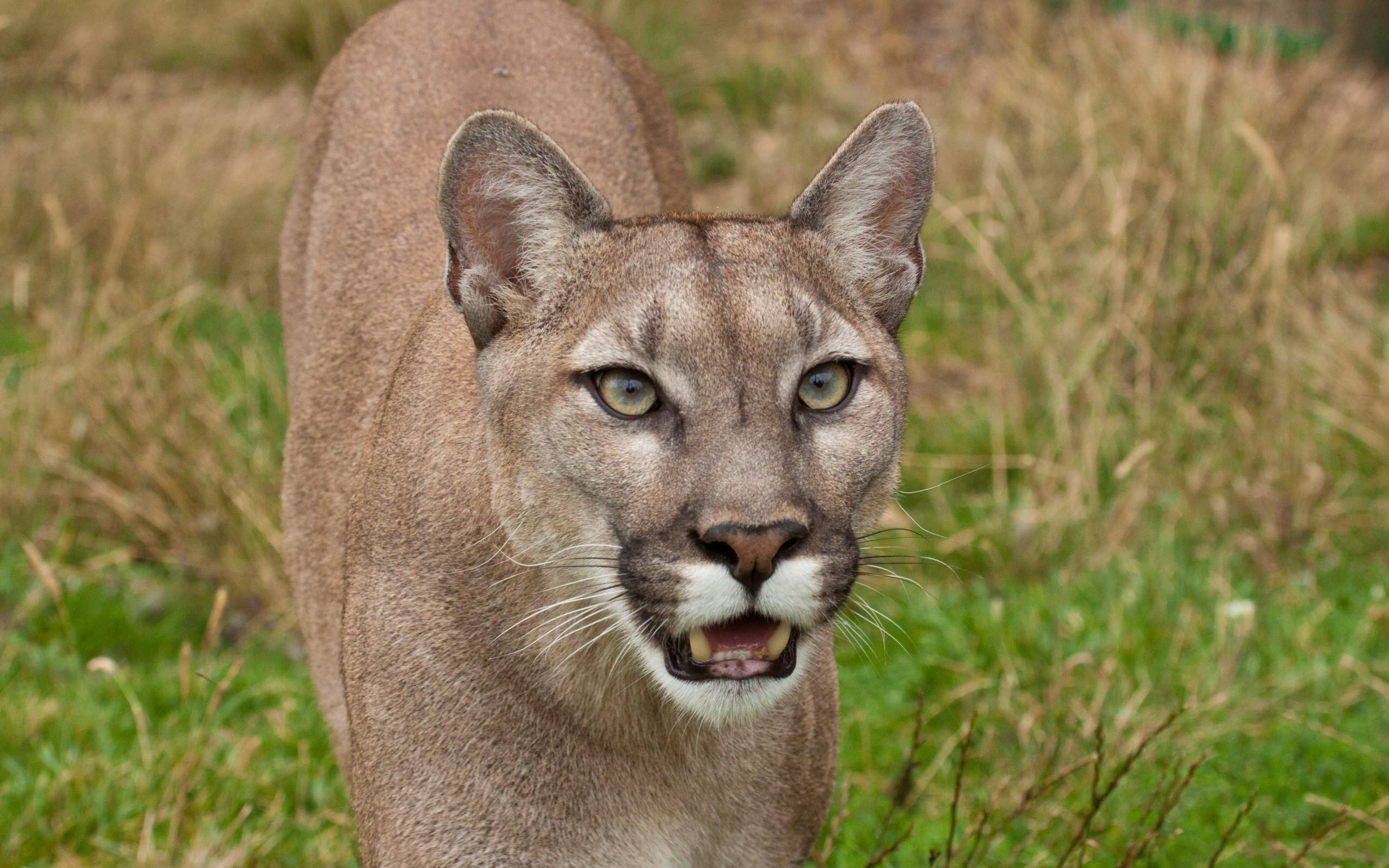 angry cougar walking in the grass wallpapers