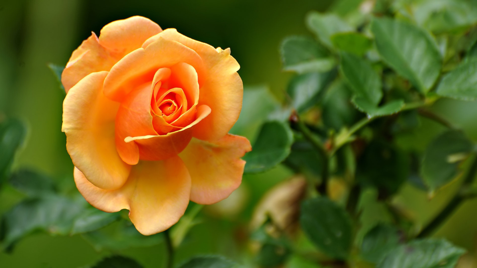 Rose wallpapers - Rose flower images full size hd ...