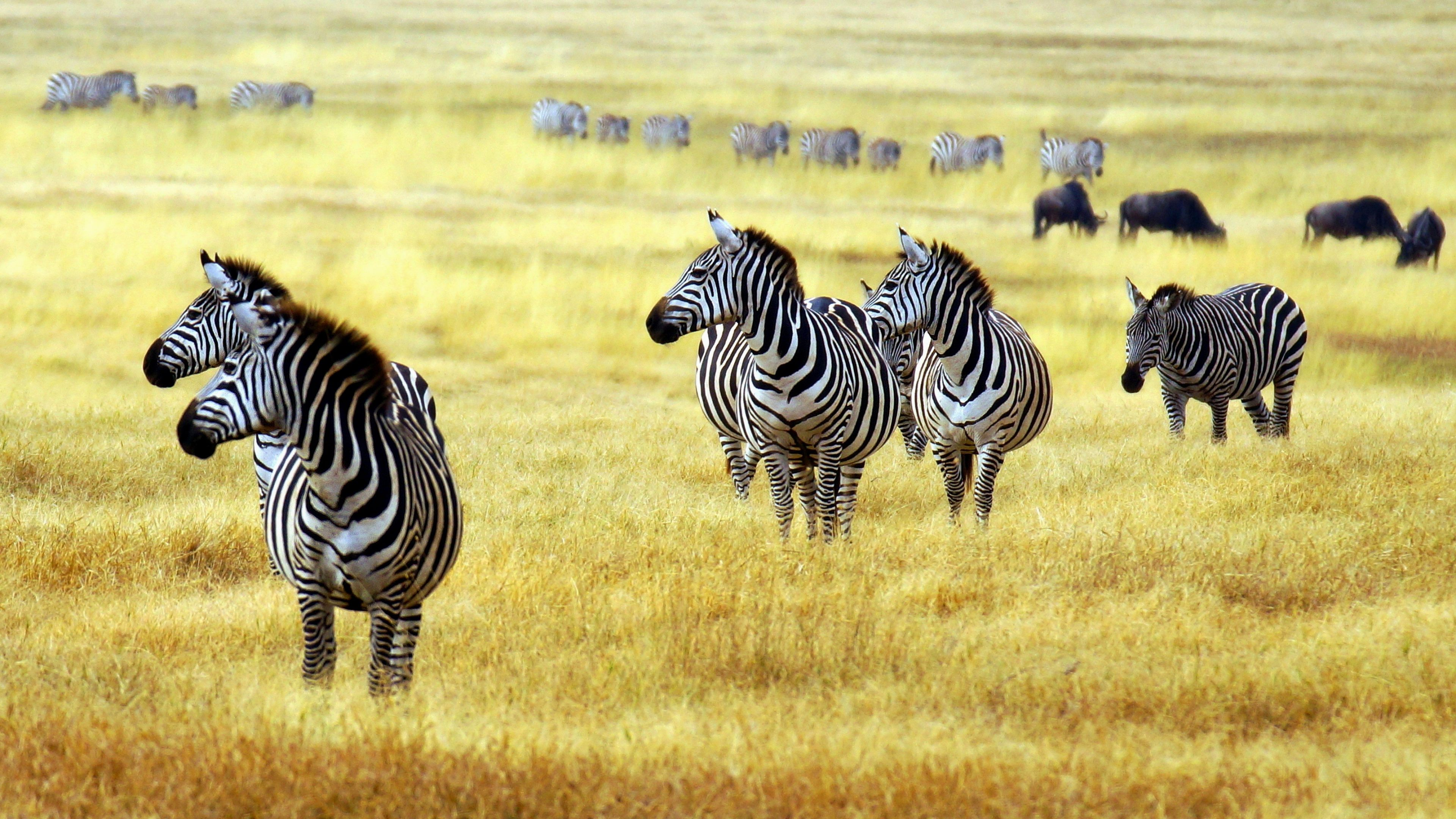 Zebras In African Savanna Forest Click To View